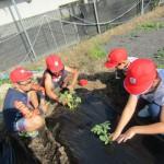 メロンとスイカとサツマイモの苗植え
