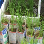 種籾からの稲